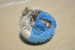 Puffer Fish washed up in a plastic bag. Plastic pollution in ocean environmental problem.