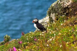 Puffin at the edge of a cliff at Skomer Island in Wales in the UK