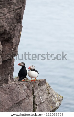 puffin birds living their daily lives on the cliffs of Iceland