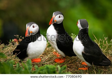 Puffin Family on the rock, Iceland - stock photo