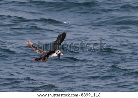 Puffin flying above the sea with sandeels, little fish, in its red beak.