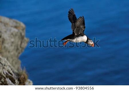 puffin flying (fratercula arctica)