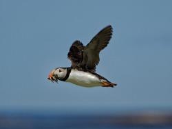 Puffin  (Fratercula arctica) Adult in flight carrying sandeels in beak.