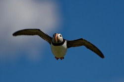 Puffin  (Fratercula arctica) Adult in flight over puffin colony.