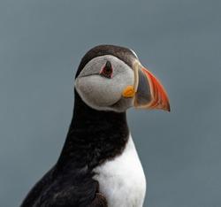 Puffin  (Fratercula arctica). adult in full breeding plumage showing colorful beak.Portrait.