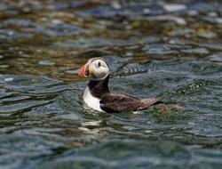Puffin  (Fratercula arctica). adult in full breeding plumage swimming. Portrait.