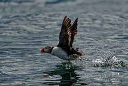 Puffin  (Fratercula arctica). adult taking off from water.