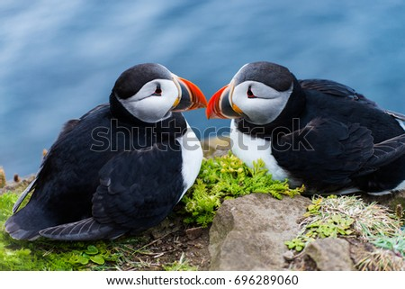 Puffin (Fratercula arctica) nesting in summer time in Iceland. Dyrholaey. West Fjord. Wildlife and nature. Birds on cliff.