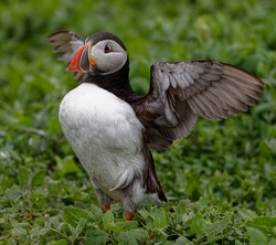 Puffin  (Fratercula arctica), Standing,stretching wings amongst  vegetation.