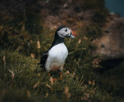 Puffin Fratercula arctica with beek full of eels and herring fish on its way to nesting burrow in breeding colony