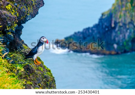 Puffin - Iceland