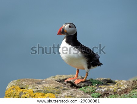 Puffin in coastline of Scotland island