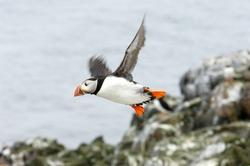 puffin in flight at Farne Islands (Fratercula arctica)