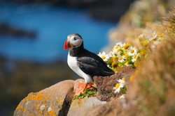 Puffin in Iceland. Seabirds on sheer cliffs. Birds on the Westfjord in Iceland. Composition with wild animals. Bird - image