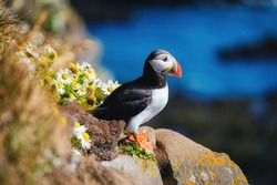 Puffin in the Iceland. Seabirds on sheer cliffs. Birds on the Westfjord in the Iceland. Composition with wild animals. Bird - image