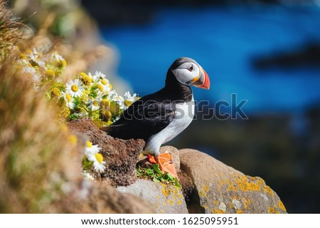 Puffin in the Iceland. Seabirds on sheer cliffs. Birds on the Westfjord in the Iceland. Composition with wild animals. Bird - image stock photo