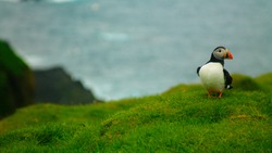 Puffin on a cliff, Faroe Islands