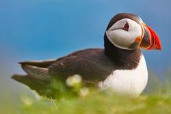 Puffin on Mykines cliffs and atlantic ocean. Faroe islands birdlife