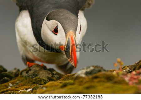 Puffin on the rock, Iceland