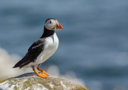 Puffin perched on a rock looking out to sea.  Farne Islands, UK