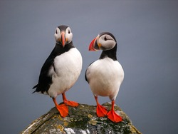 puffin standing on a grassy cliff (fratercula arctica)