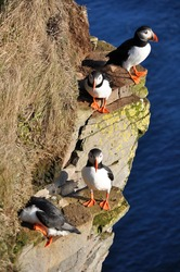 Puffin standing on a grassy cliff, sea as background, Latrabjarg north Iceland