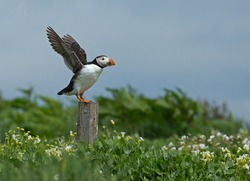 Puffin standing on a pole