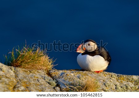 puffin standing on grassy cliff (fratercula arctica)