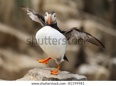 Puffin standing on one foot with wings outstretched