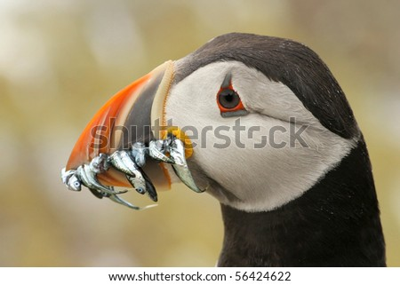 Puffin with fish in its beak - stock photo