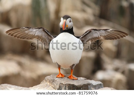 Puffin with wings outstretched