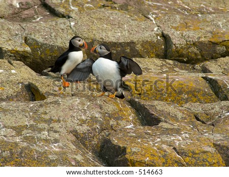 puffins couple in love