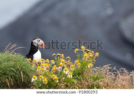 puffins - cute birds from Iceland