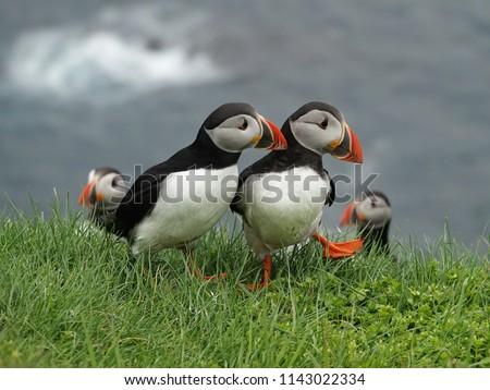 Puffins having a conversation on Mykines island - Faroe islands