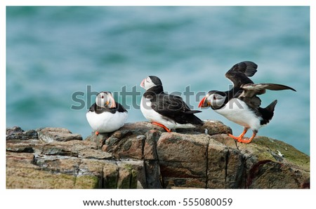Puffins on a rock with a seascape background - one puffin is getting ready to take flight, farne Islands, Northumberland, England