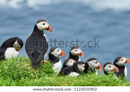 Puffins on Mykines, Faroe islands