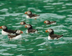 Puffins swimming in the sea in Pembrokeshire, Wales