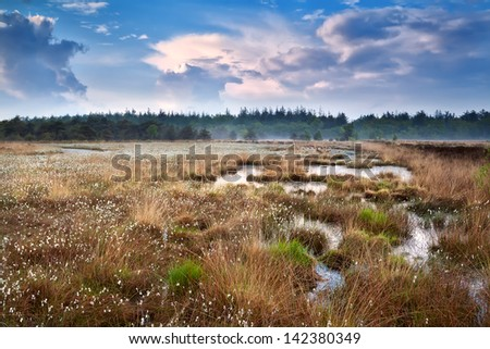puffy cotton-grass on swamp and blue sky, Drenthe, Netherlands
