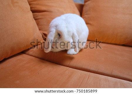 puffy domestic home rabbit on sofa - Shutterstock ID 750185899