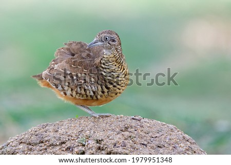 puffy feathers bird while happily standing on high dirt pole among its habitation environment, male of barred bottonquail (Turnix suscitator) Photo stock ©