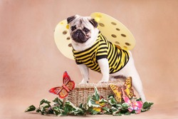 Pug - a small decorative dog, which has long been kept know. A dog with a lively, cheerful and at the same time balanced character, noble and affectionate to the owner.