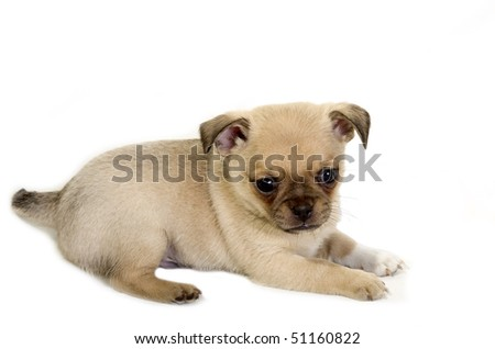Pug-Chihuahua puppy