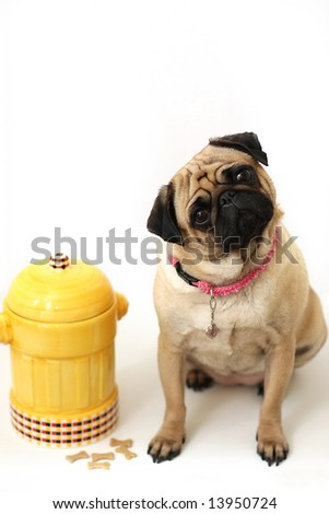 Pug cocking it's head and standing beside fire hydrant cookie jar.