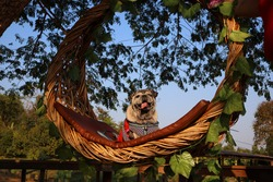 Pug, cute fat dog, funny face, smile, happy to travel. Sitting on a wooden basket Selectable focus