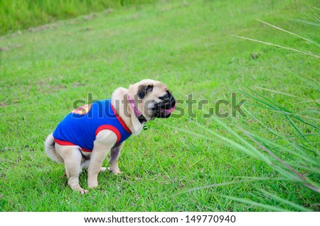 Pug, defecating against in nature