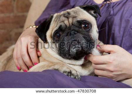 Pug dog at the woman's lap