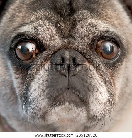 Pug dog close up.  Pug Mug.