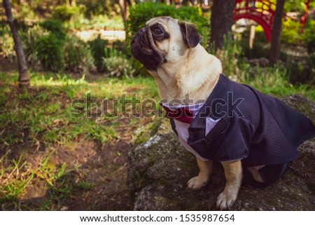 Pug dog dressed with frac. The doguillo, commonly called carlino or pug is a breed of dog with historical origin in China. It is a small dog of type molosoid, used as a pet Foto stock ©
