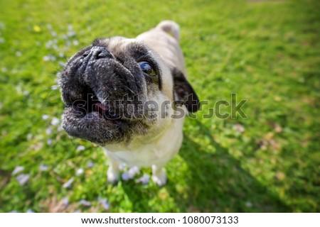 Pug dog howling