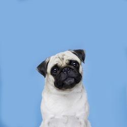 pug dog in blue background